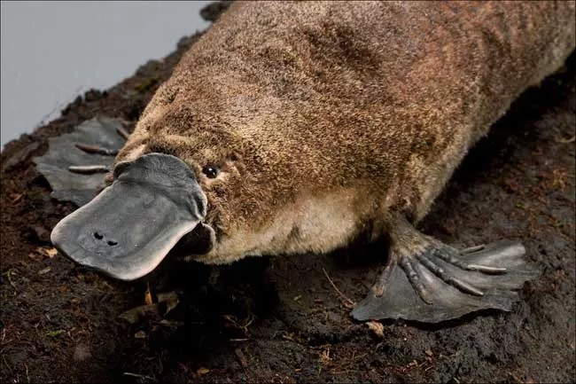 "Not this kind of platypus. (From <a href=""https://www.livescience.com/27572-platypus.html"">https://www.livescience.com/27572-platypus.html</a>)"